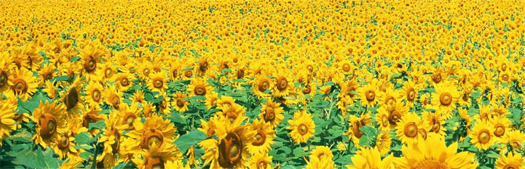 Millions of Sunflower Garden Nansha Guangzhou Ticket|Online Booking,Sunflower Garden Guangzhou Ticket Cost,Q All Sunflower Garden Guangzhou,Sunflower Garden Park Map