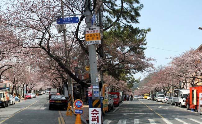 Trip to Jinhae Gunhangje Cherry Blossom Festival 2017,Jinhae Gunhangje Festival 2017,Trip to Jinhae Gunhangje Cherry Blossom Festival 2017 from Seoul