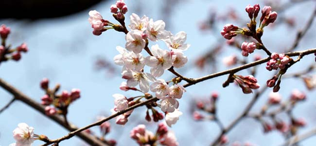 Jinhae Cherry Blossom 2017 Weather Forecast
