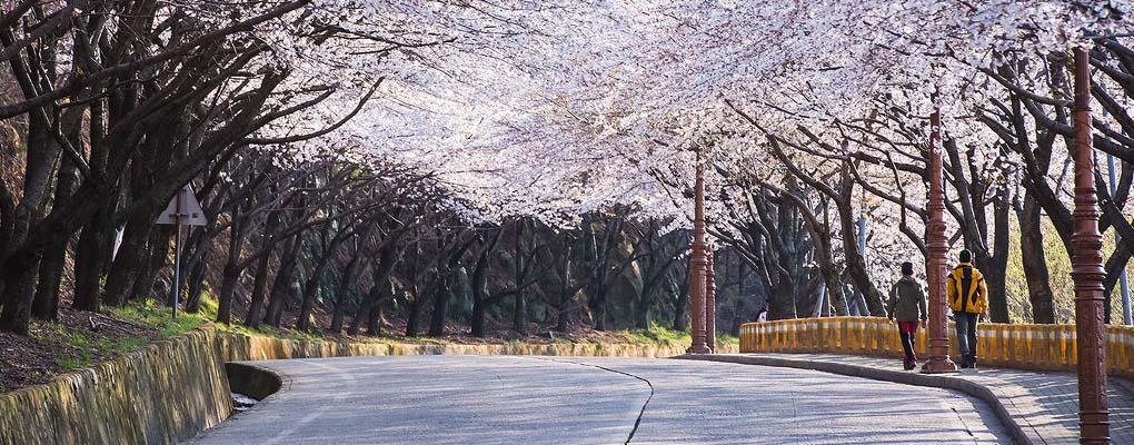 Dodangsan Mountain Cherry Blossom Festival