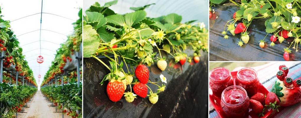 Bucheon Strawberry Garden