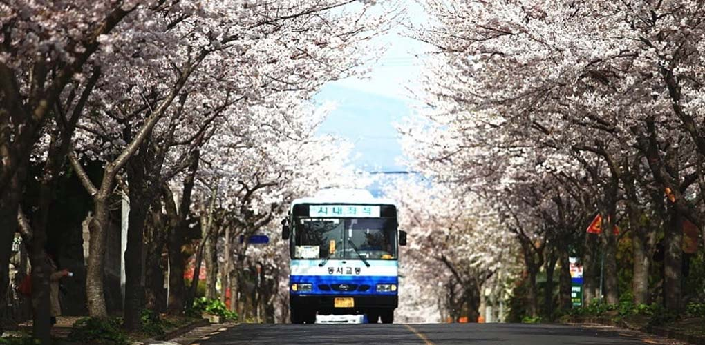 Jeju Cherry Blossom Festival Tour, Jeju Cherry Blossom Festival Tour, Jeju Private Tour Cherry Blossom Festival, Rent a car to jeju cherry blossom festival