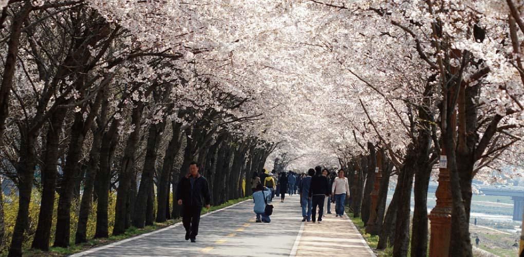 Simni (10ri) Cherry Blossom Road Tour