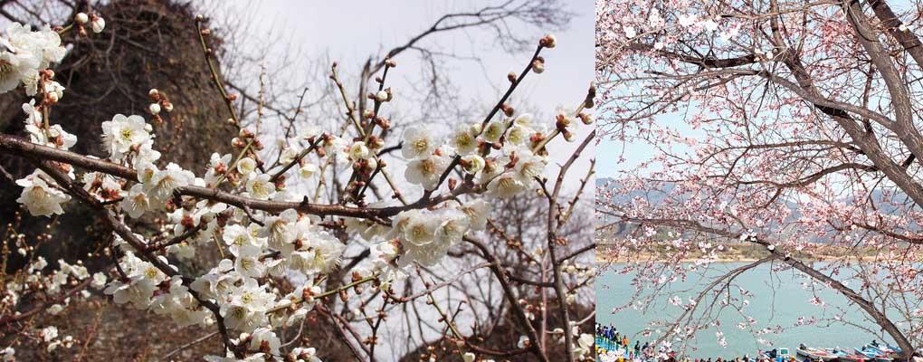 Gwangyang Maehwa Festival Day Tour,Cheonghakdong Village & Gwangyang Plum Village Day Tour (from Busan)