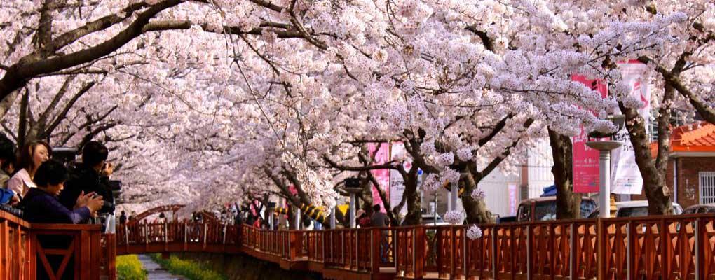 Jinhae Gunhangje Festival Cherry Tour from Seoul, Jinhae Gunhangje Cherry Blossom Festival, Jinhae Cherry Blossom, Bus to Jinhae Cherry from Seoul, Jinhae Cherry Shuttle Bus Package