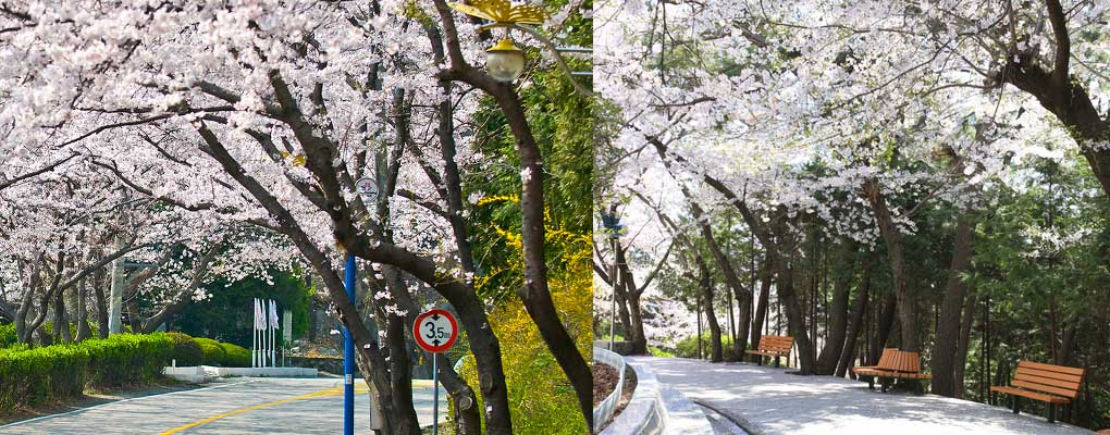 Jinhae Cherry Blossom Festival Day Tour (from Busan)