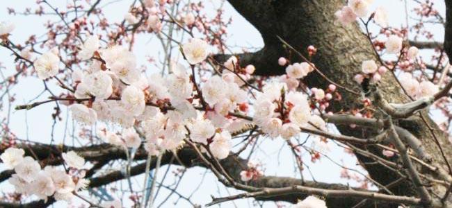 Seoul Yeouido's Yunjung-ro Cherry Blossom Festival 2017