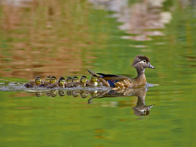A female wood duck and ducklings in Arapahoe County, Colorado (© Robert Harding/Alamy)