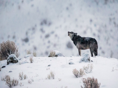 A gray wolf in Yellowstone National Park, Wyoming (© Meril Darees & Manon Moulis/Biosphoto/Minden Pictures)