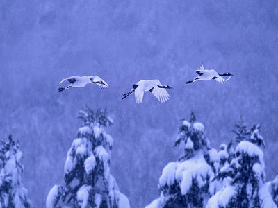 Red-crowned cranes in Akan National Park, Hokkaido, Japan (© Vincent Munier/Minden Pictures)