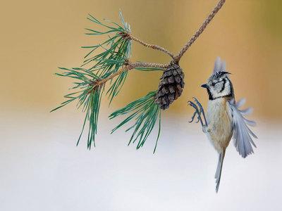 A European crested tit lands on a pine tree in France (© Emmanuel Baechler/Minden Pictures)