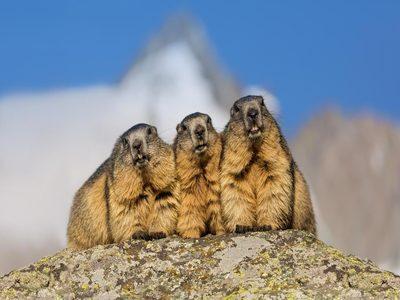 Alpine marmots near the Grossglockner High Alpine Road, Austria (© Weimann/Getty Images)