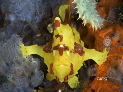 A frogfish off the coast of Apo Island, Negros, Philippines (© Franco Banfi/Photolibrary)